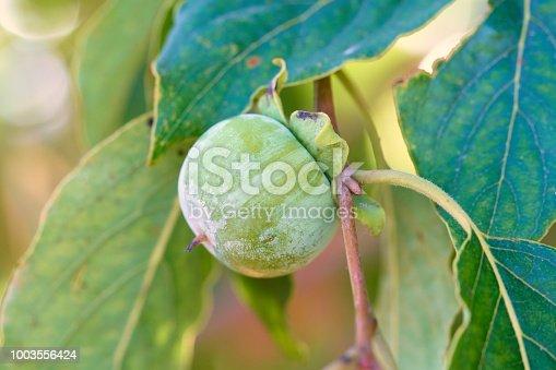 Prunus domestica in branch, early June in Spanish field.