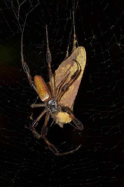 imperial moth being wrapped up by golden orb spider - mottenfalle stock-fotos und bilder