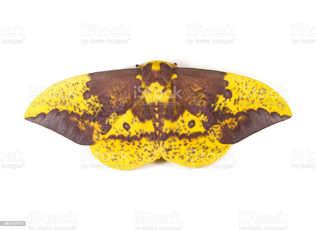 Imperial Moth stock photo