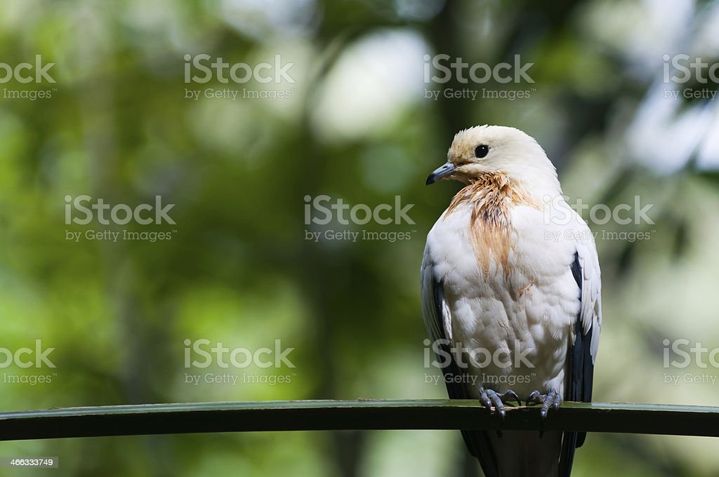 Pied Imperial Pigeon stock photo