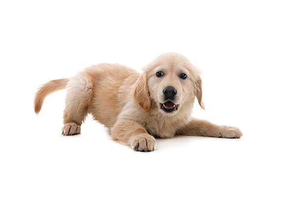 impish dog - golden retriever stock photos and pictures