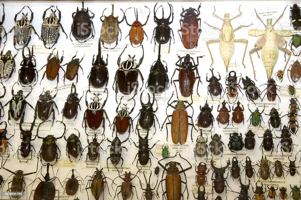 important collections of insects and beetles with Scarabs 1 royalty-free stock photo