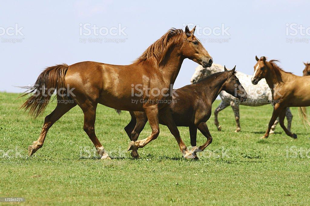 Imposing stallion royalty-free stock photo