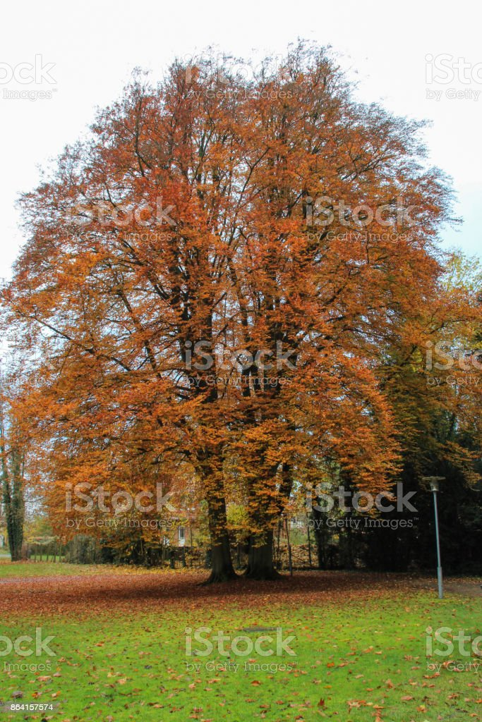 imposing tree with colorful leaves royalty-free stock photo