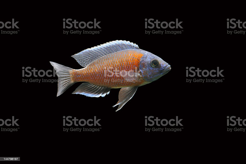 Impressing Malawi Cichlid stock photo