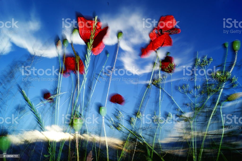 impression-poppy stock photo