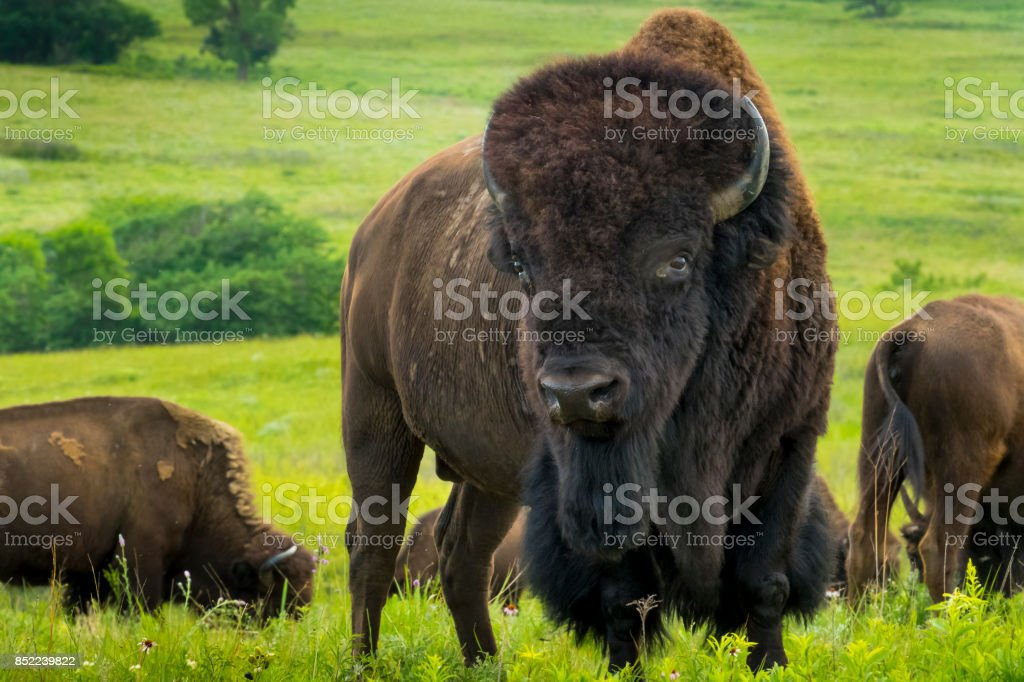 Impressive American Bison Portrait On The Kansas Plains - foto stock