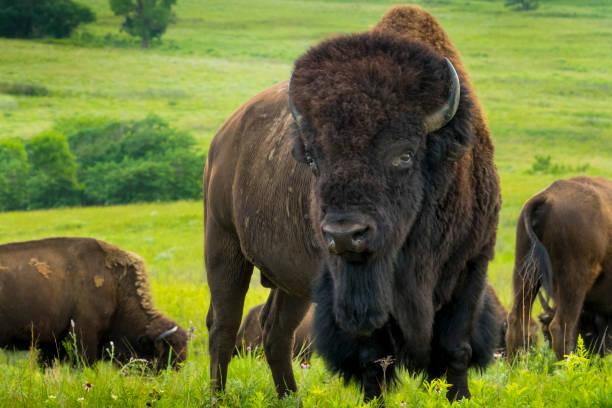 Imponerande amerikansk Bison stående på Kansas slätter bildbanksfoto