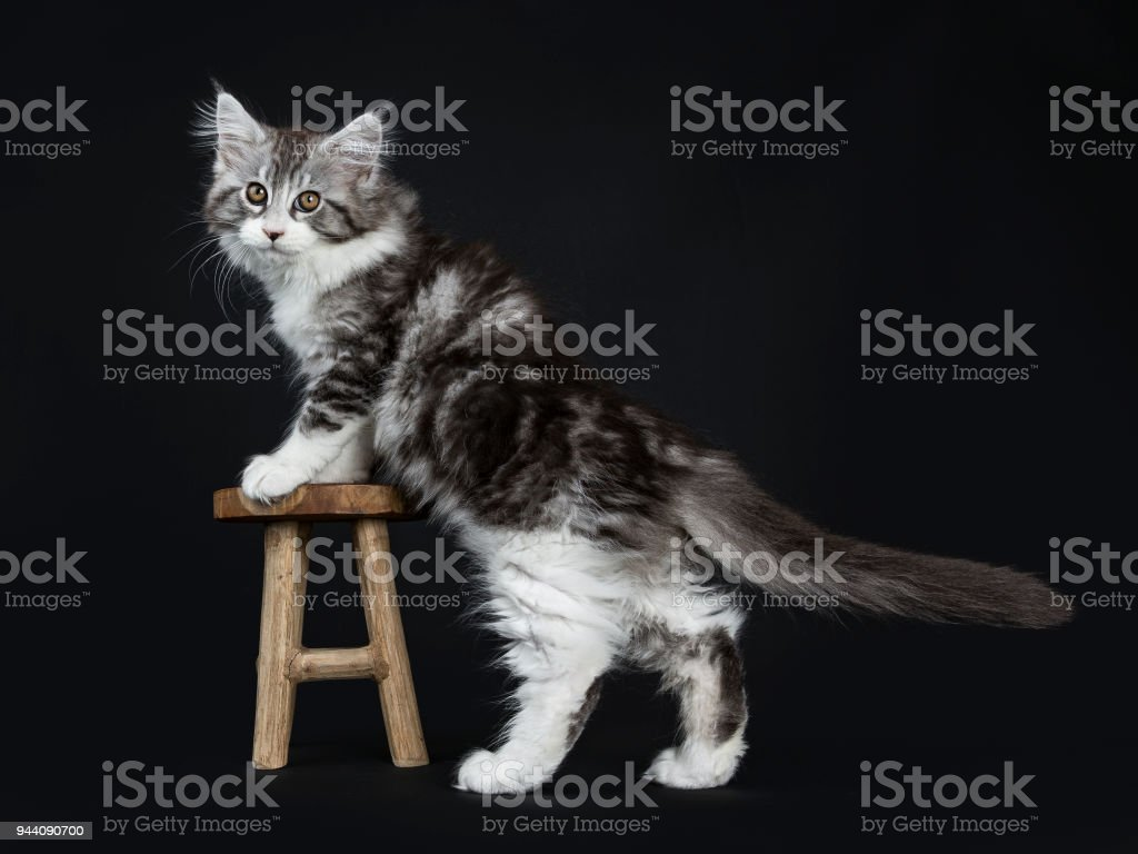 Tremendous Impressive Black Tabby Maine Coon Cat Kitten Standing With Front Paws On Small Wooden Stool Isolated On Black Background Looking At Lens Stock Photo Inzonedesignstudio Interior Chair Design Inzonedesignstudiocom