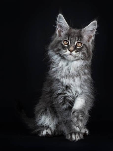 beeindruckende blau silber maine coon katze kätzchen sitzen vorderseite, blick in die kamera mit braunen augen und eine pfote ein wenig vom boden abgehoben. auf schwarzem hintergrund isoliert. - grau getigerte katzen stock-fotos und bilder
