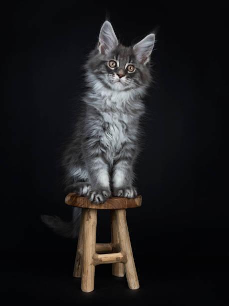 beeindruckende blau silber maine coon katze kätzchen sitzen auf kleinen hölzernen schemel, blick in die kamera mit braunen augen. auf schwarzem hintergrund isoliert. - grau getigerte katzen stock-fotos und bilder