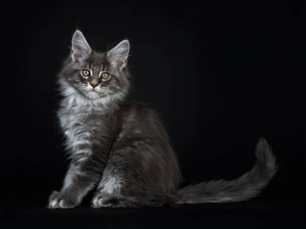 beeindruckende blau silber maine coon katze kätzchen sitzt seitwärts, blick in die kamera mit braunen augen und eine pfote ein wenig vom boden aufgehoben. auf schwarzem hintergrund isoliert. - grau getigerte katzen stock-fotos und bilder