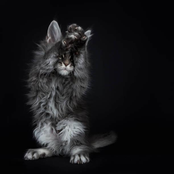 beeindruckende blau silber maine coon katze kätzchen stehend auf rückseite pfoten, vorderen pfoten über kopf in der luft für augen, spielen peek ein boo / betteln. auf schwarzem hintergrund isoliert. - grau getigerte katzen stock-fotos und bilder
