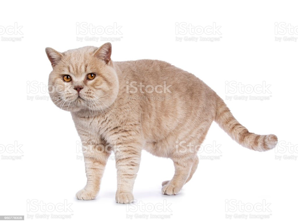 Impressive creme adult male British Shorthair cat walking isolated on white background looking naughty in camera stock photo