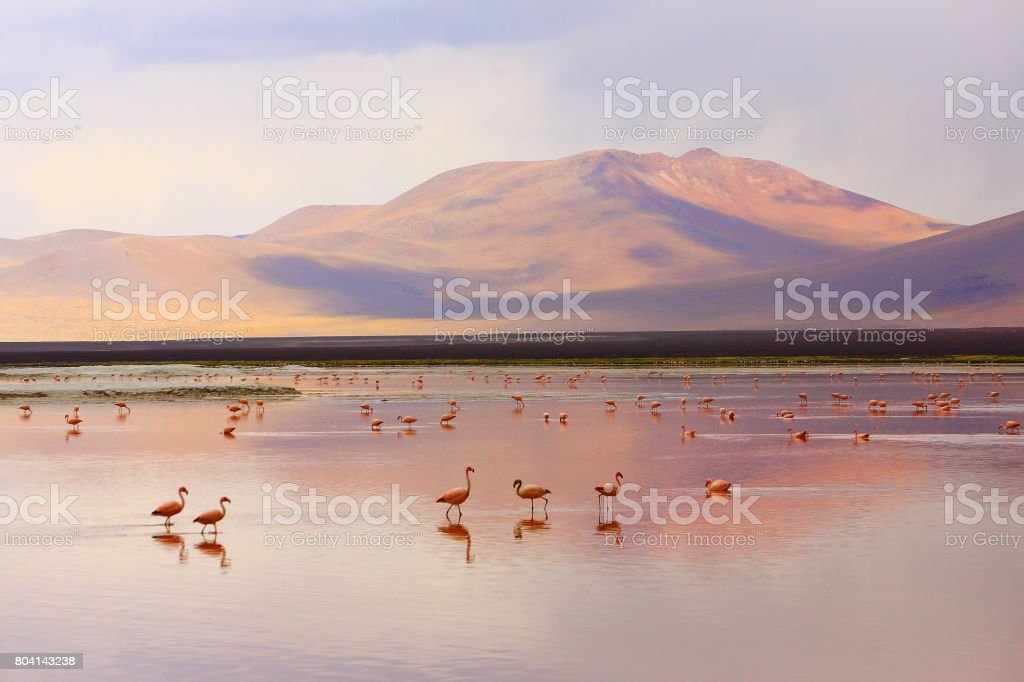Impressive Laguna colorada - Red lake reflection, Andean Flamingos birds and Idyllic Altiplano Atacama Desert, Volcanic landscape panorama – Potosi region, Bolivian Andes, Bolívia stock photo