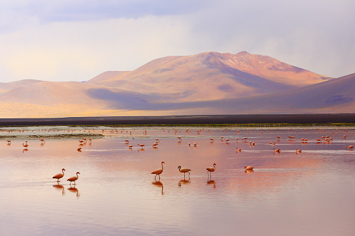 Impressive Laguna Colorada Red Lake Reflection Andean Flamingos Birds And Idyllic Altiplano Atacama Desert Volcanic Landscape Panorama Potosi Region Bolivian Andes Bolívia Stock Photo - Download Image Now