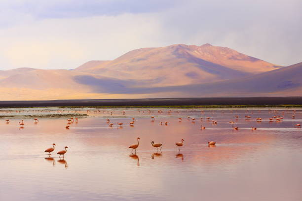 impressive laguna colorada - red lake reflection, andean flamingos birds and idyllic altiplano atacama desert, volcanic landscape panorama – potosi region, bolivian andes, bolívia - south america travel stock photos and pictures