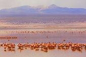 Impressive Laguna colorada - Red lake reflection, Andean Flamingos birds and Idyllic Altiplano Atacama Desert, Volcanic landscape panorama – Potosi region, Bolivian Andes, Bolívia