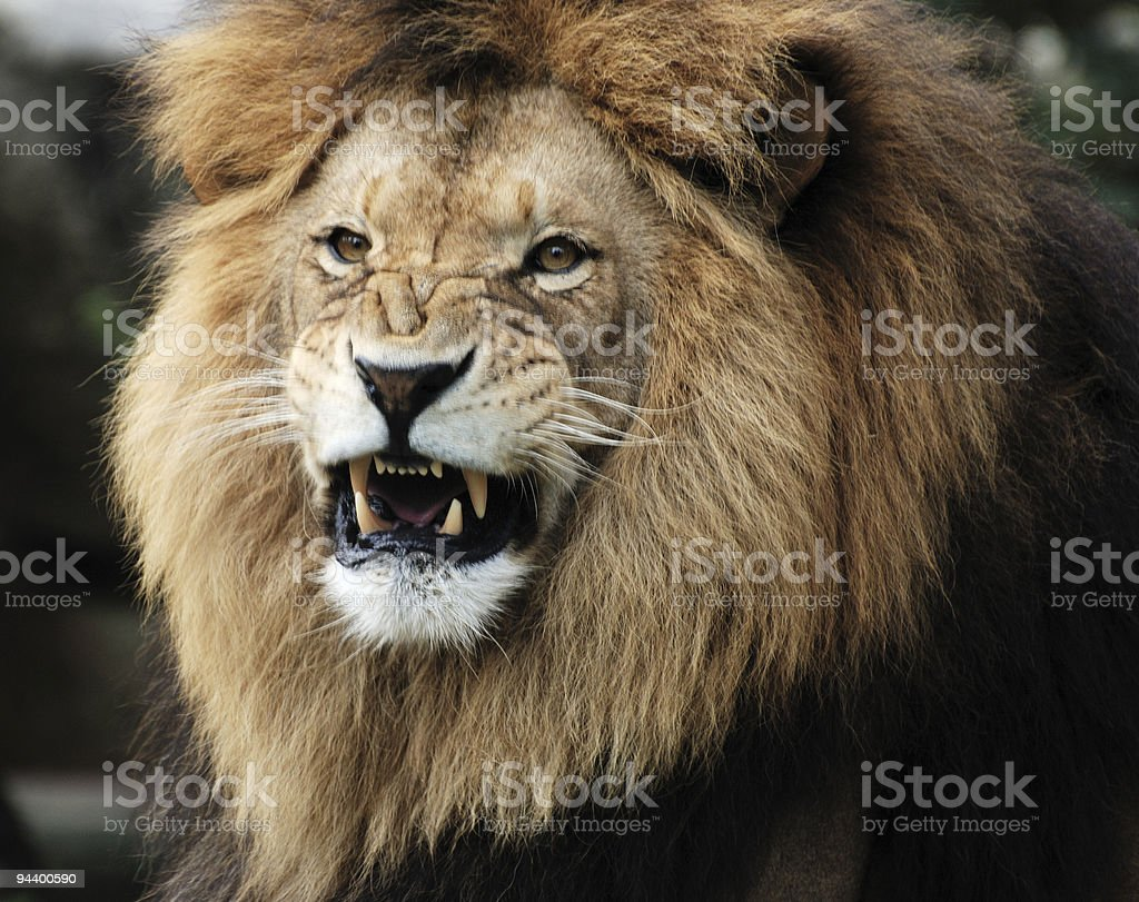 Impressive male lion with aggressive face showing fangs royalty-free stock photo