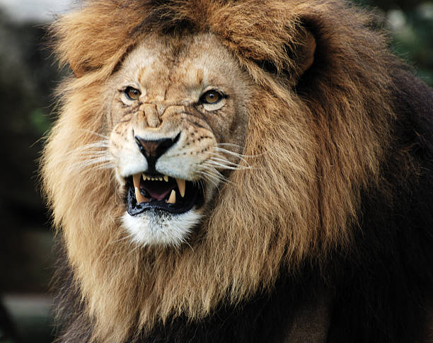 Impressive male lion with aggressive face showing fangs