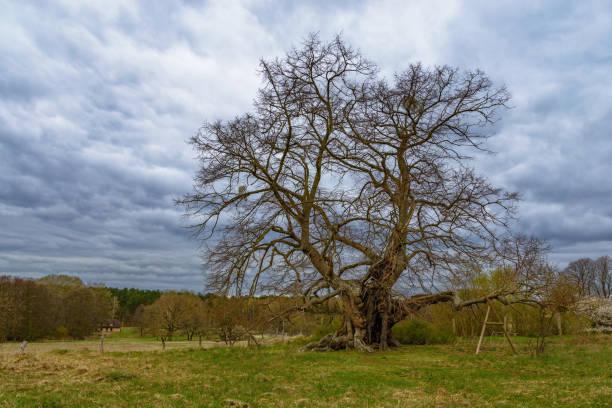 beeindruckende naturdenkmal: die 800 jahre alte largeleaf linden in der stadt von speck - nationalpark müritz stock-fotos und bilder
