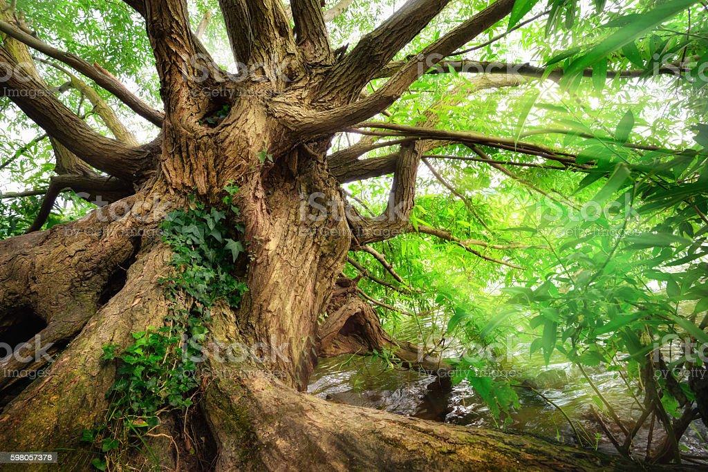 Impressive old tree trunk - Photo