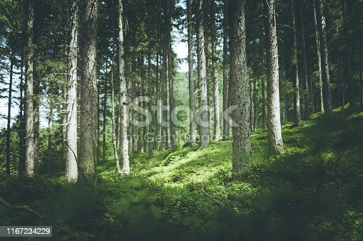 Impressive spruce trees in the forest, spirituality and wood therapy