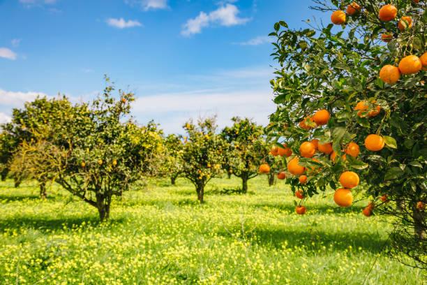 impressive view of green garden. location place sicily island, italy, europe. - frutteto foto e immagini stock
