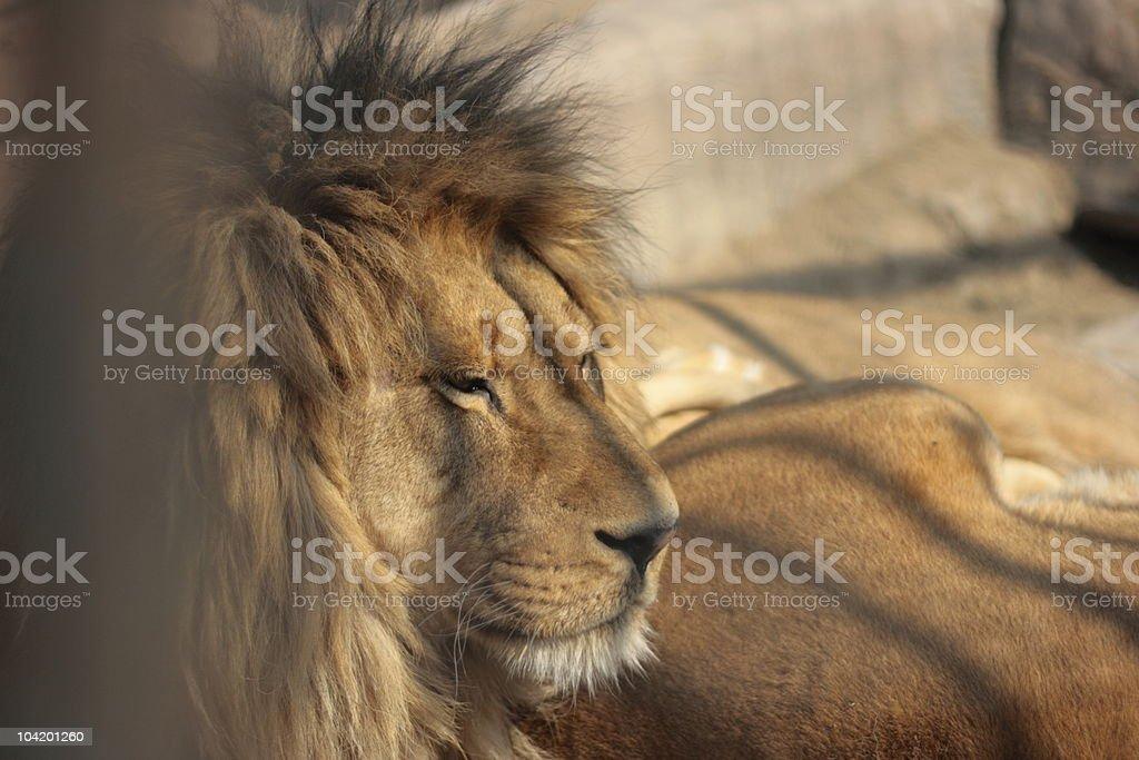 Imprisoned Lion royalty-free stock photo
