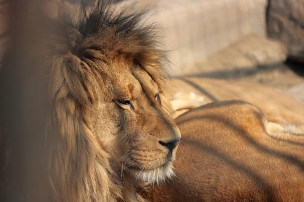 Imprisoned Lion stock photo