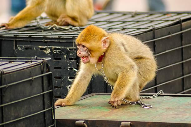 imprisoned monkey stock photo