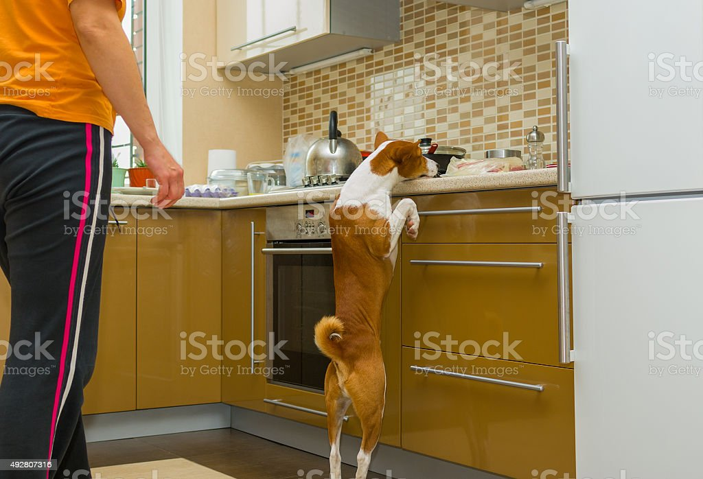 Impudent basenji dog is desperately stealing meat in the kitchen stock photo