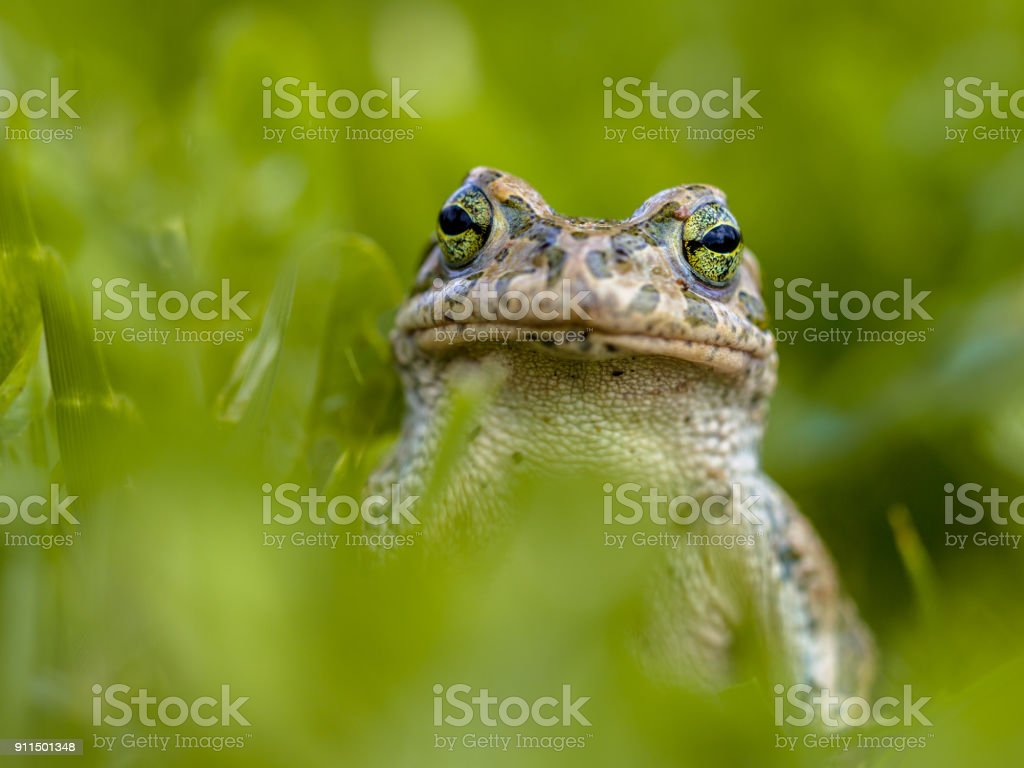 Impudent Green toad in Grass stock photo