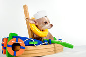 a little chihuahua sailing in a boat with a sailor hat