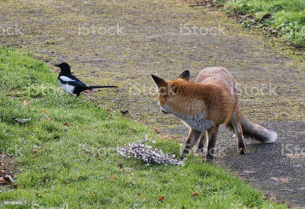 Red fox and curious magpie in English churchyard stock photo