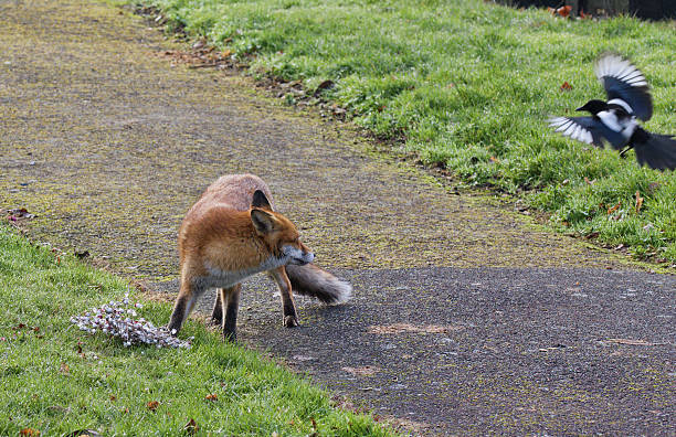 red fox and curious magpie in english churchyard - whiteway fox stock photos and pictures