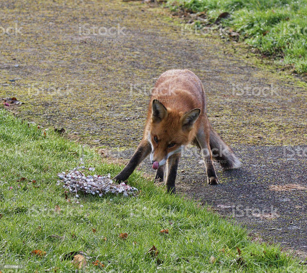 Red fox Vulpes vulpes licking nose in graveyard stock photo
