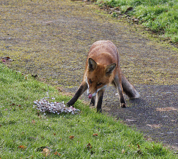 red fox vulpes vulpes licking nose in graveyard - whiteway fox stock photos and pictures