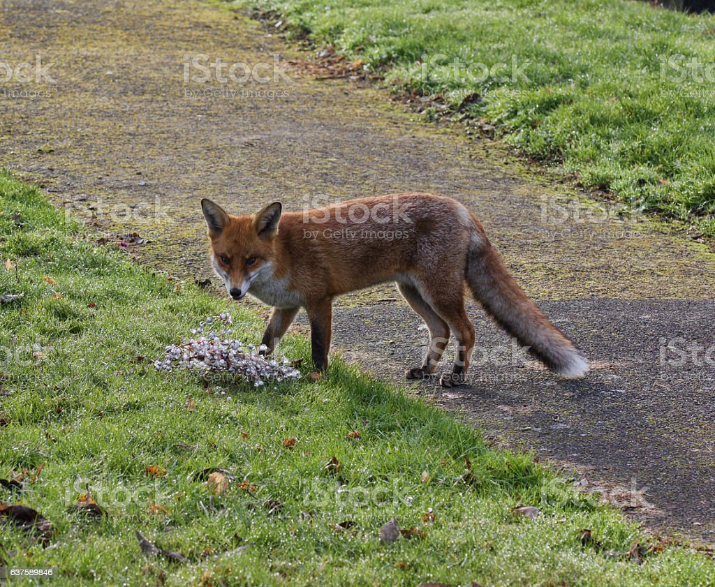 European fox Vulpes vulpes playing with wreath stock photo