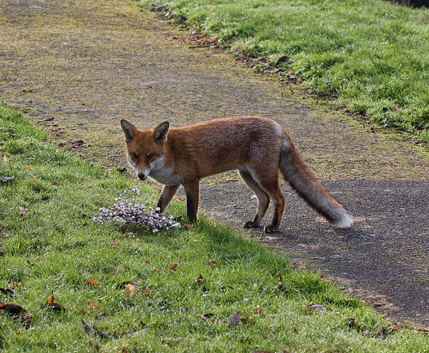 european fox vulpes vulpes playing with wreath - whiteway fox stock photos and pictures