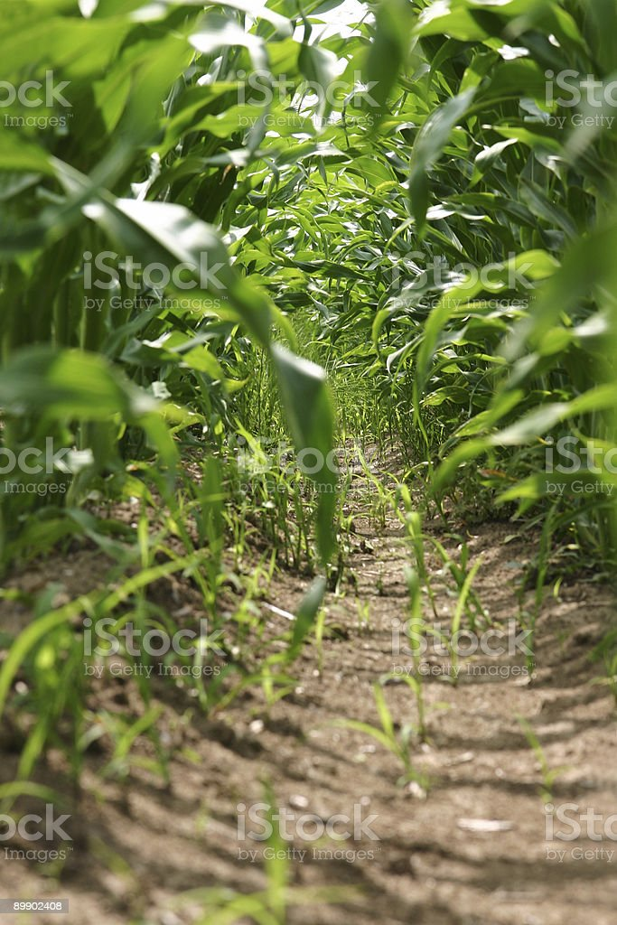 corn field In Lizenzfreies stock-foto