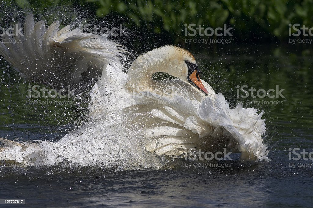 Bathing female mute swan in flurry of feathers stock photo