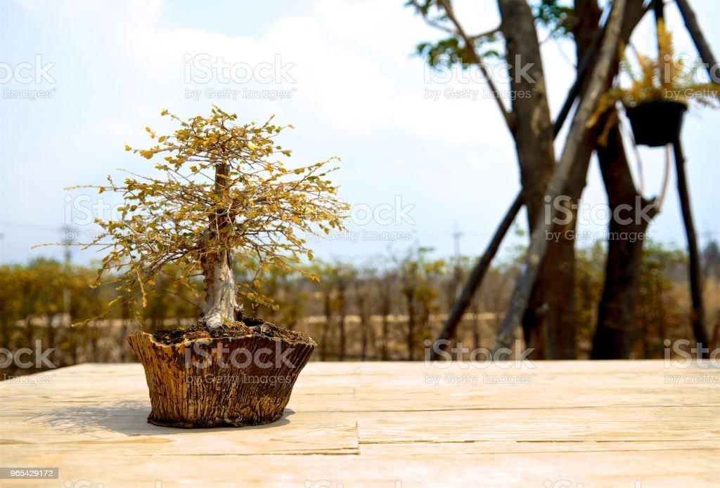 가. 작은 분재 나무 점토 냄비에. 나무 바닥, 현대 주택 디자인에 작은 귀여운 장식 식물. 닫습니다. - 로열티 프리 0명 스톡 사진