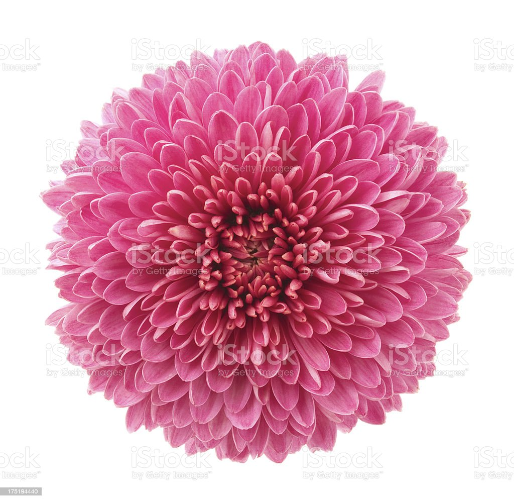 In bloom pink chrysanthemum flower stock photo