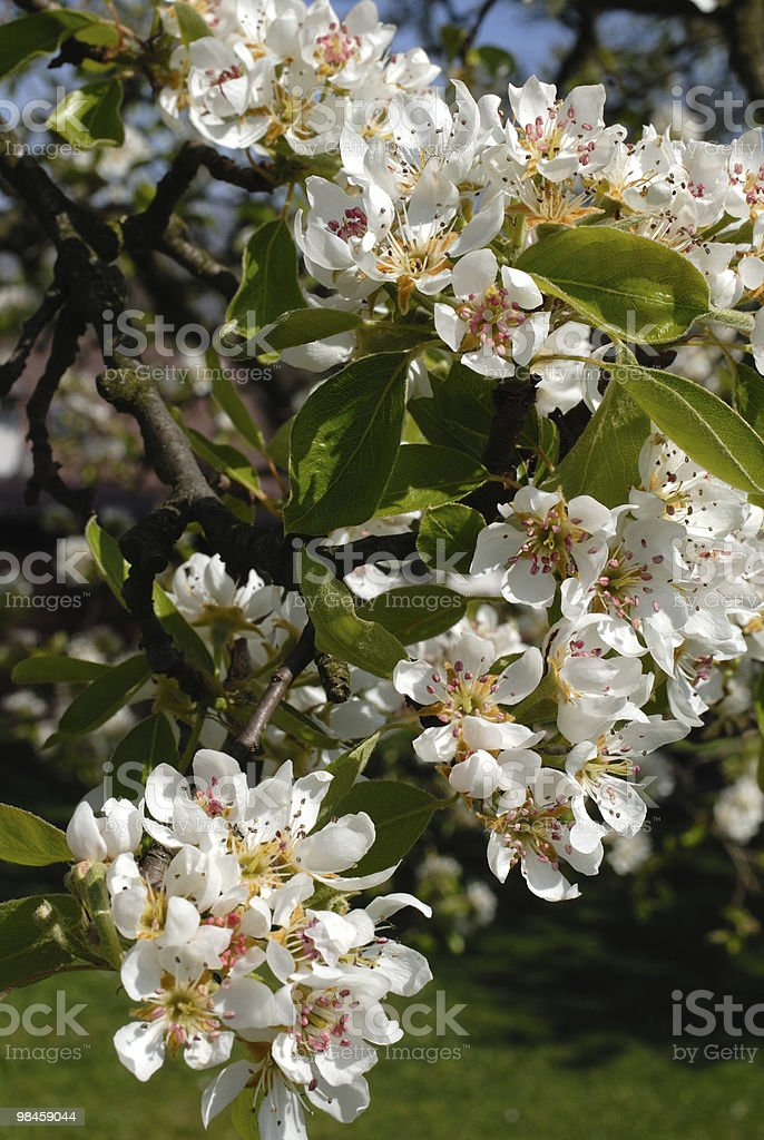 In bloom tree royalty-free stock photo