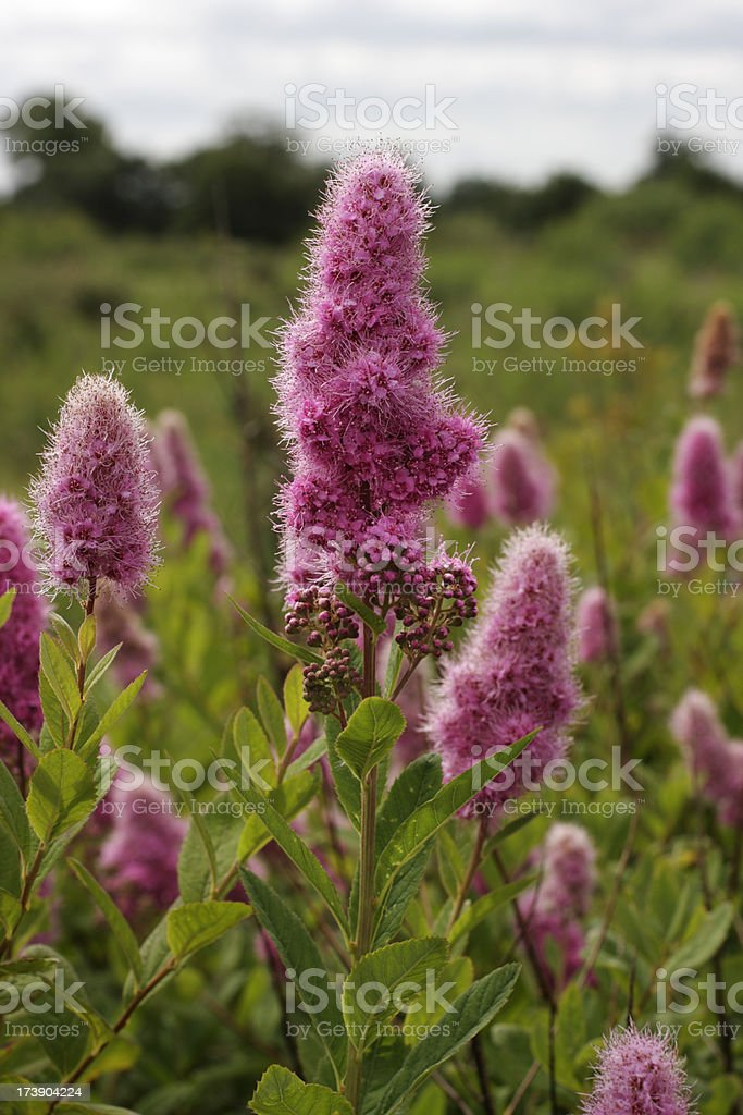Bridewort Spiraea salicifolia candy pink flowers on garden escape stock photo