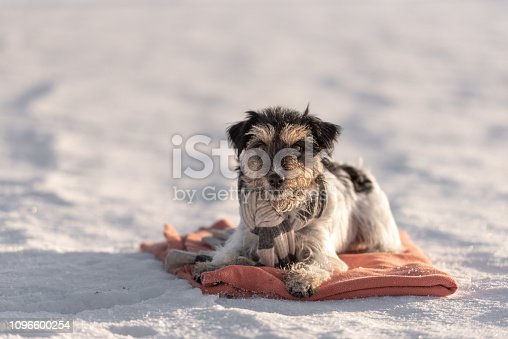 in cold snowy winter a small dog is lying on a blanket on the ground.  Cute Jack Russell Terrier 3 years old