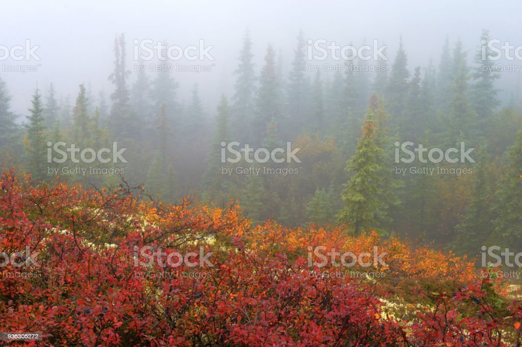 In Denali National Park, colors of Blueberry Bushes in fall are brilliant beneath green pines and fog. stock photo