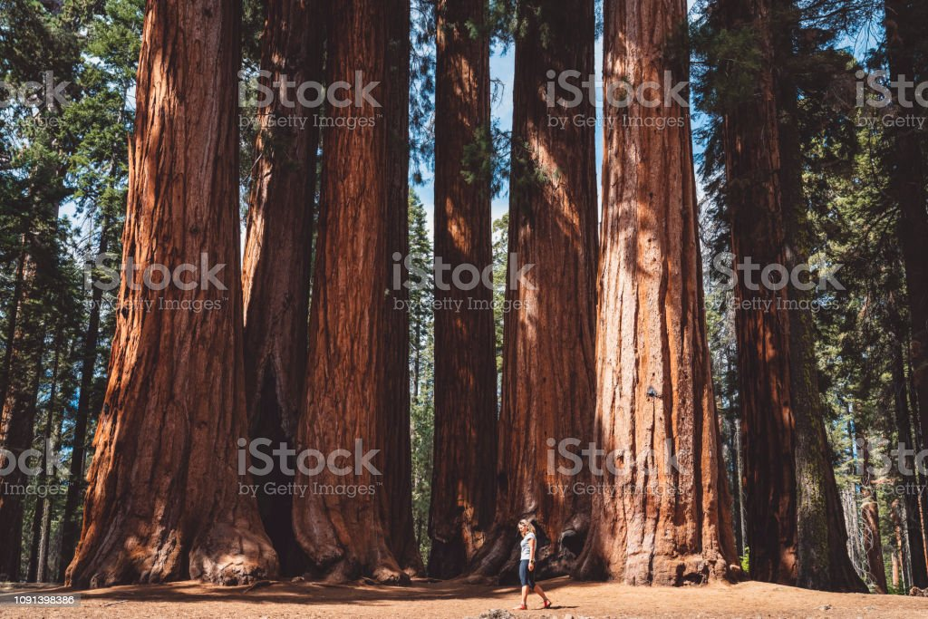 In every walk with Nature one receives far more than he seeks - Sequoia national park The Sequoia is one of nineteen National Forests in California. It takes its name from the giant sequoia, the world's largest tree. The Sequoia's landscape is as spectacular as its trees. Adventure Stock Photo