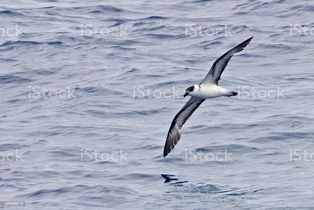 In flight Black-capped Petrel, Pterodroma hasitata stock photo